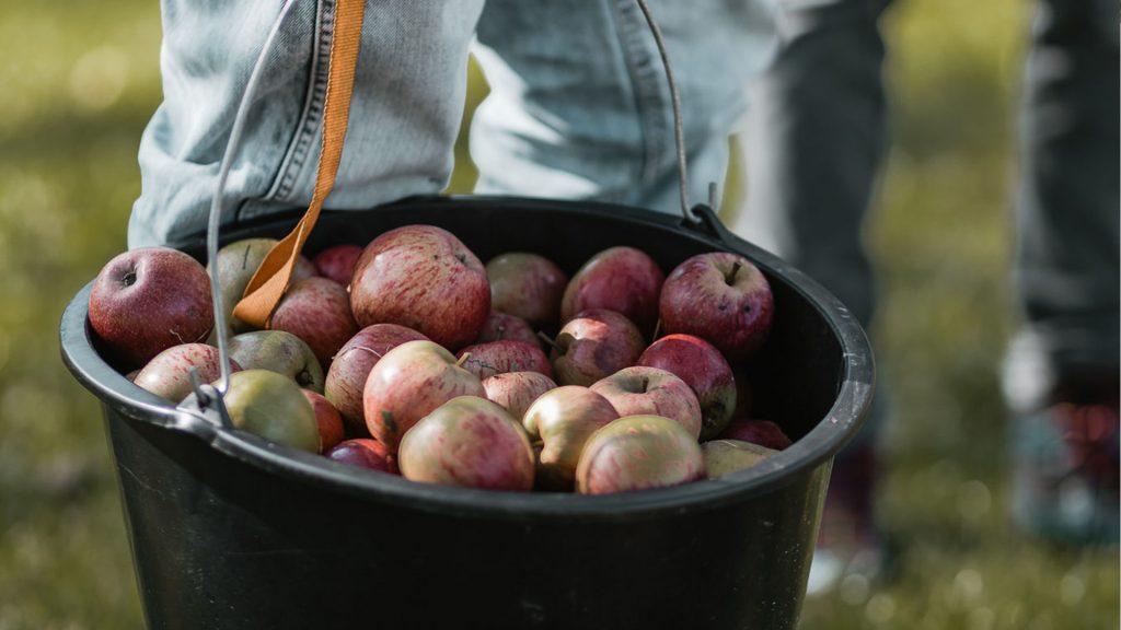 Äpfel bei der Ernte